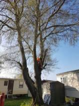 Take down poplar tree Steeple Bay caravan park3