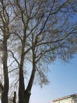 Take down poplar tree Steeple Bay caravan park4