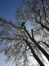 Take down poplar tree Steeple Bay caravan park5