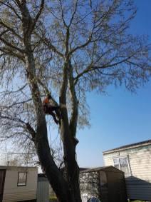 Take down poplar tree Steeple Bay caravan park8