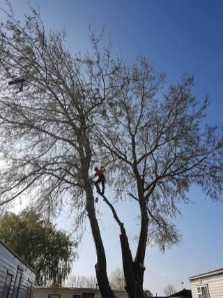 Take down poplar tree Steeple Bay caravan park9