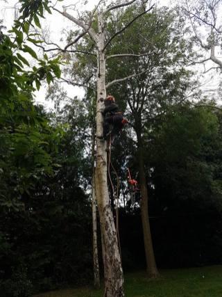 Danbury X 2 take down leylandii trees in the corner 12