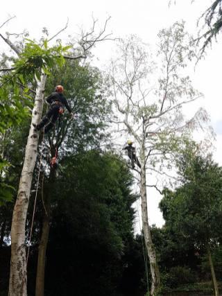 Danbury X 2 take down leylandii trees in the corner 13
