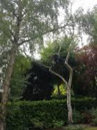 Danbury X 2 take down leylandii trees in the corner 17