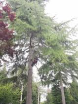 Danbury X 2 take down leylandii trees in the corner 7