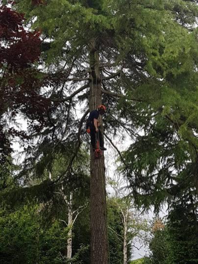 Danbury X 2 take down leylandii trees in the corner 8