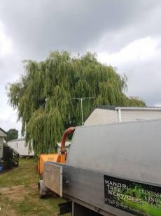 Pollarding x 1 Poplar & one weeping Willow Steeple Bay Caravan Park 9
