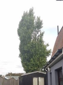 Reducing Poplar Tree 5