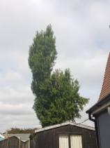 Reducing Poplar Tree 6