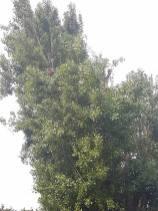 Reducing Poplar Tree 7