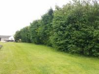 Reducing in height leylandii trees - Tillingham 3