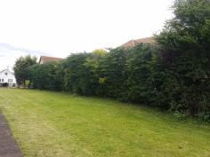 Reducing in height leylandii trees - Tillingham 8