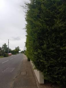 Reducing in height leylandii trees & facing them back TillinghamHigh Street (before) 2