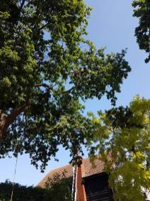 Reducing oak tree Burnham on Crouch with a (tpo) x2 metres reduced 5% thin all correct procedures have been taken - before 6