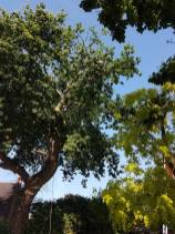 Reducing oak tree Burnham on Crouch with a (tpo) x2 metres reduced 5% thin all correct procedures have been taken - before 7