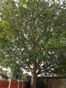 Reducing & thinning oak tree Casey Lane Tillingham with a tpo all correct procedures have been taken 1