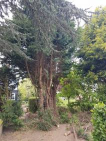 Taking down x6 leylandii tree tillingham marshes 2