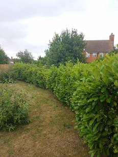 Topping & facing back alongside the boundary laurel hedge St Peter's Court Bradwell 1
