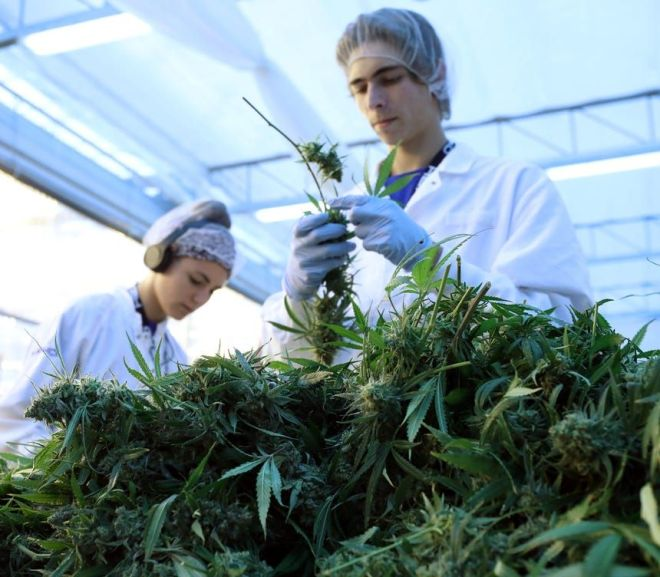 What Role Do Biologists Play in the Cannabis Industry?