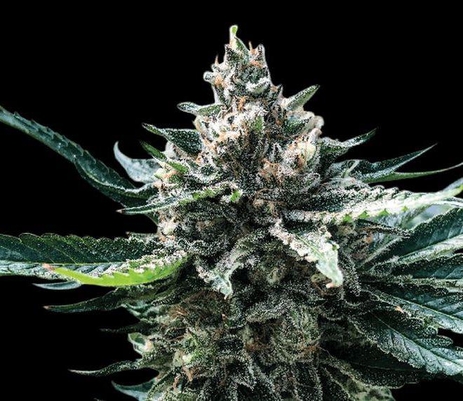 How to Grow TropSanto: Tropicana Cookies F1 X GMO Cookies