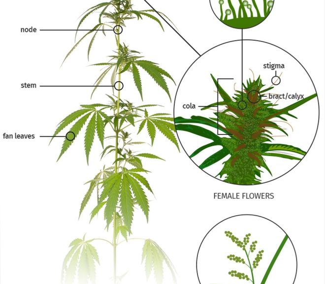Cannabis anatomy: The parts of the plant