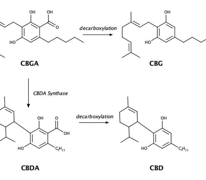 CBG vs CBD: What Are the Differences?