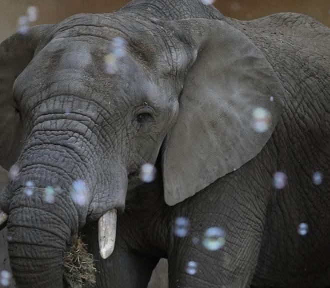 In Poland, New Study Will Examine CBD Effects on Elephants