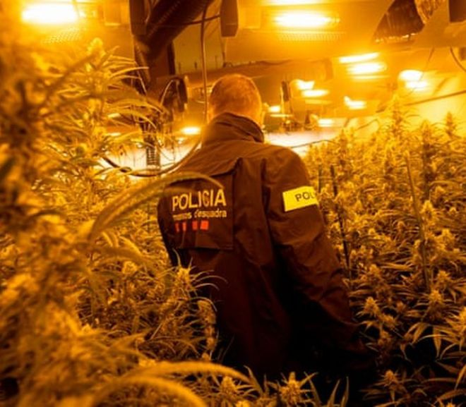 Spain becomes cannabis hub as criminals fill tourism void