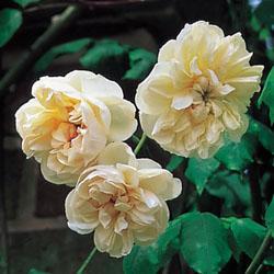 Desprez a fleur jaune