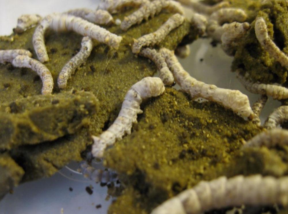 Silkworms feeding on chow