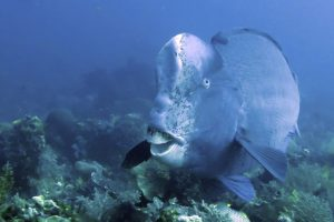 Bumphead parrotfish at Amed Wall