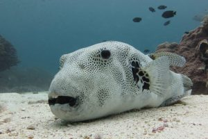 Manta Manta Diving - Bali - Scuba Diving - Pufferfish