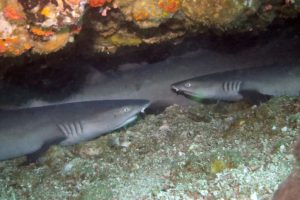 white tip reef sharks at Tepekong