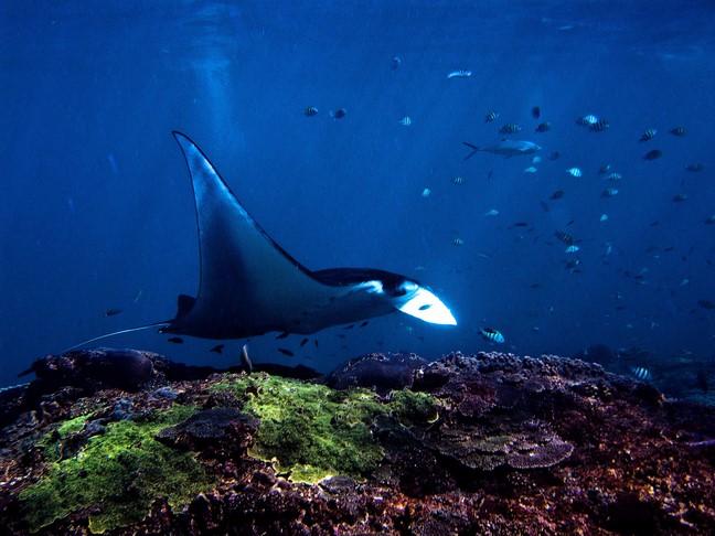Manta rays from Nusa Penida