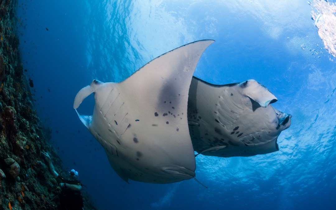 Manta protection recommended by Indonesia's scientists