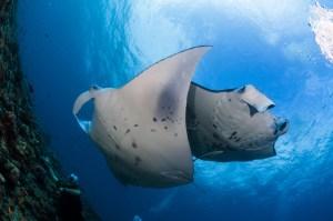 manta ray courtship