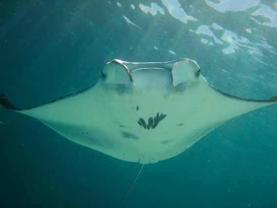 Manta Rays Fly High in Indonesia