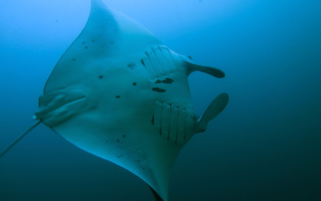Day 7: Manta Fever and Back Onshore
