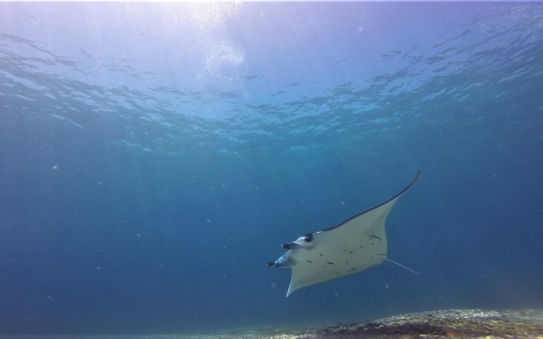 Day 10: A Surprise Baby Manta Encounter