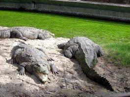Crocodile At Delhi Zoo