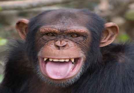 القردة العليا: الشمبانزي