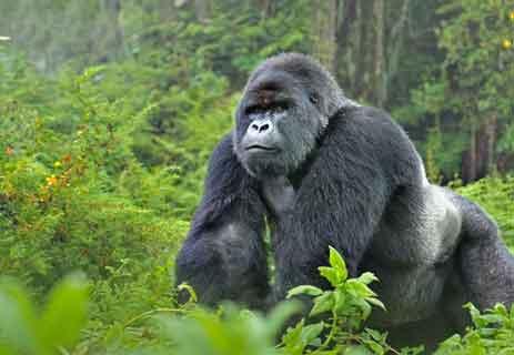 القردة العليا: الغوريلا