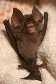 Leaf nose bat 6