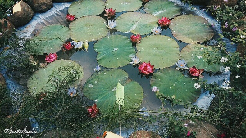 Lotus flowers in the pond DIY