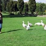 Borgogne, gansos, cuidado com eles