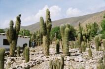 Cactus gigantes na Quebrada de Humahuaca