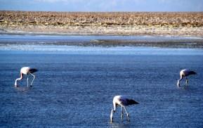 Flamingos na Laguna de Miscanti-Miñiques