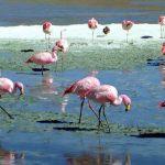Flamingos no Salar de Uyuni, Bolívia