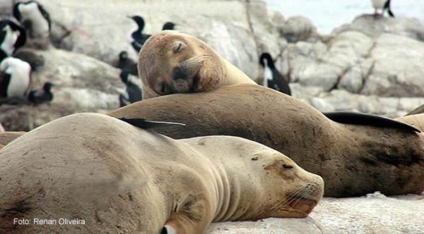 Leões-marinhos, Terra do Fogo, Argentina