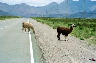 Lhamas, Puna Argentina